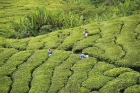 Workers working at the tea plantation